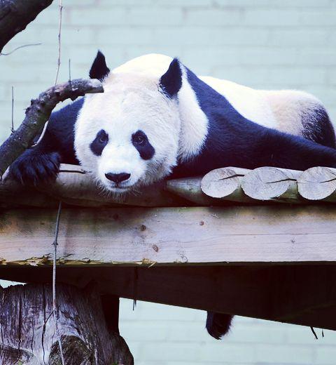 #Pandagate: nous aussi on veut un Panda !