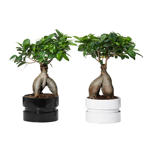 ficus-microcarpa-ginseng-plante-avec-vase__0213705_PE369263_S4