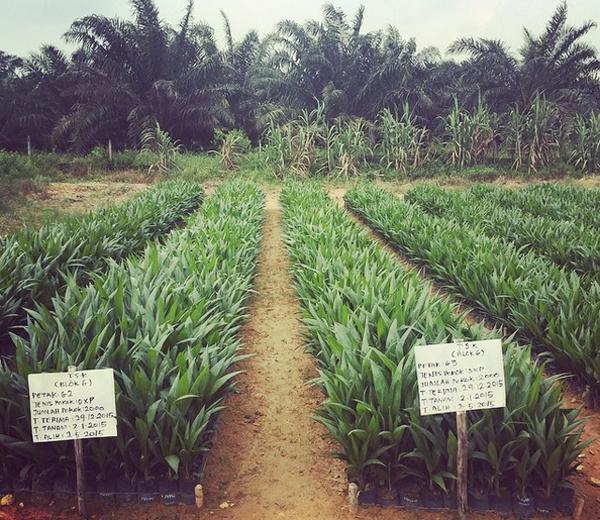 huile de palme plant modif