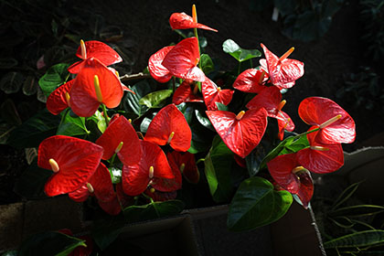 LONDON, ENGLAND - FEBRUARY 02: A box of anthurium plants awaits installation at the Tropical Extravaganza Festival 2012 in the Princess of Wales Conservatory, Royal Botanic Gardens, Kew on February 2, 2012 in London, England. The festival runs from February 4 to March 4, 2012 and contains 6500 tropical plants including over 2700 orchids. (Photo by Peter Macdiarmid/Getty Images)