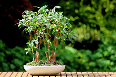 Weeping fig bonsai tree group (ficus benjamina natasja), plant pot