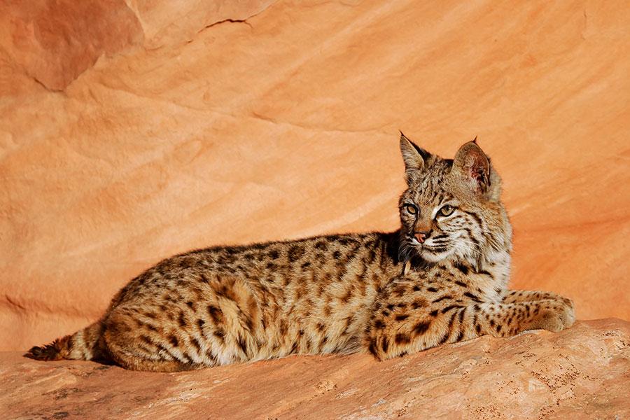 Un bobcat couché sur une roche rouge.