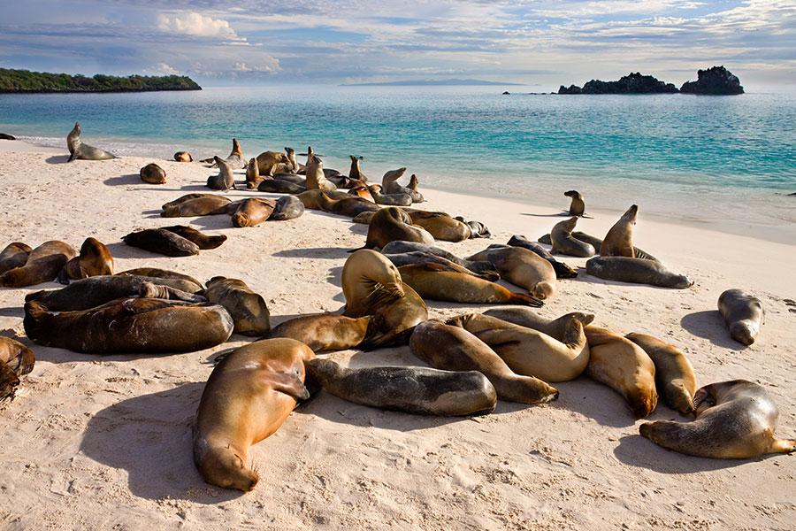 Des lions de mer sur une plage des îles Galapagos.
