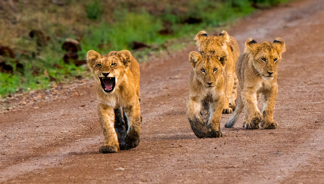 Quatre lionceaux se baladant sur un chemin de terre.