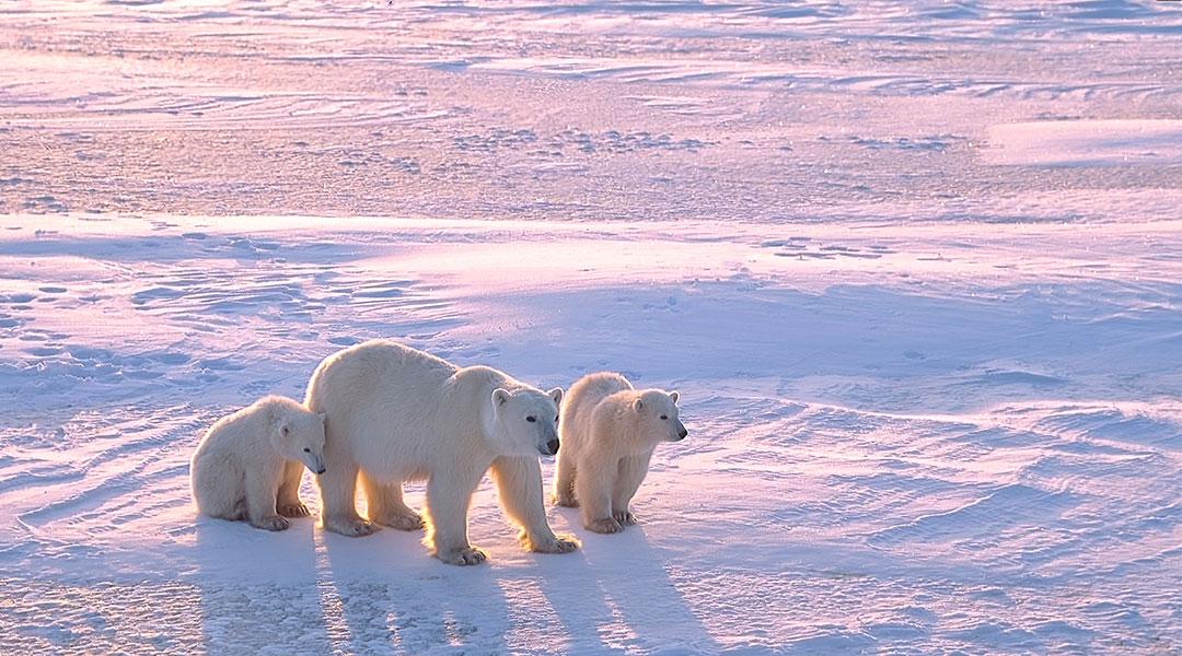Un mère ours polaire et ses deux petits sur la banquise.