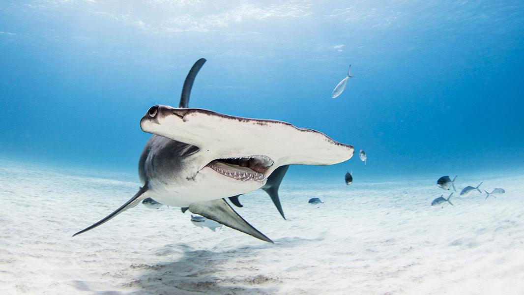 Un requin marteau nageant en plein océan.