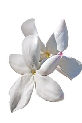 Fleur de jasmin utilisée dans les parfums Dior.