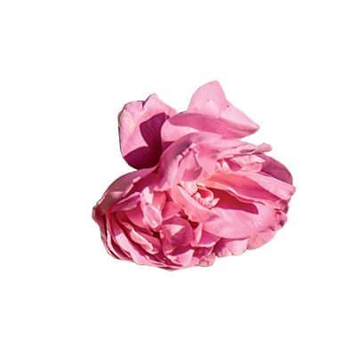 Photo d'une rose de mai.
