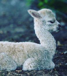 Pairi Daiza : quels sont les bébés animaux à rencontrer cet été ?