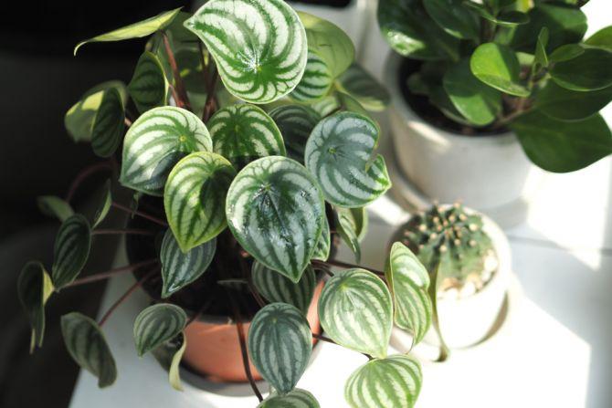 Peperomia plante d'intérieur