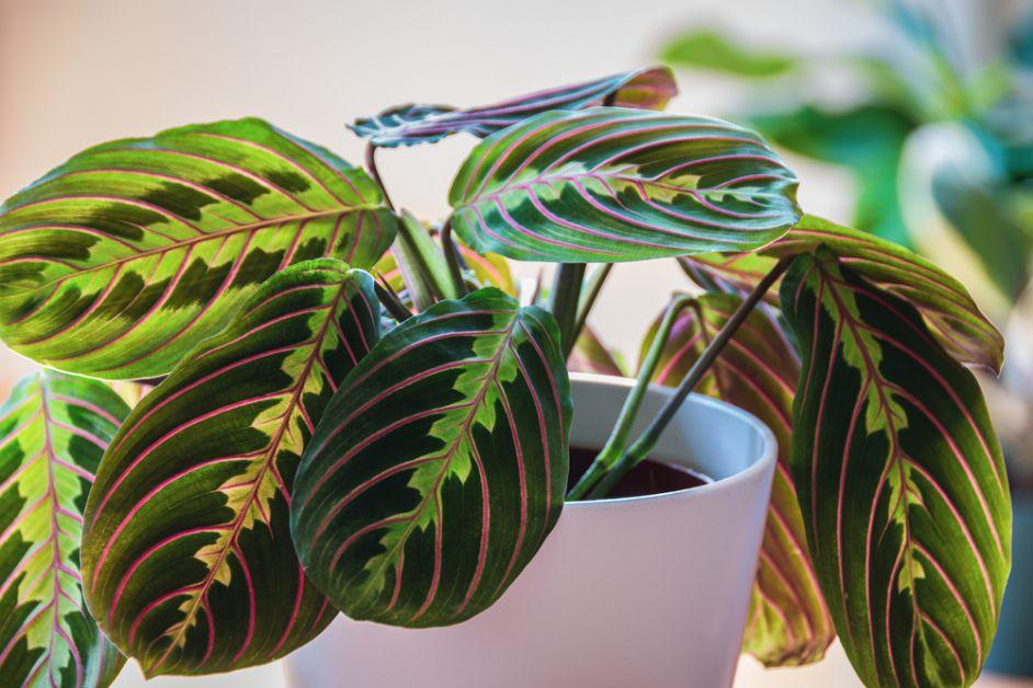 Maranta plantes non-toxiques