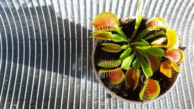 Attrape-mouche plantes non-toxiques