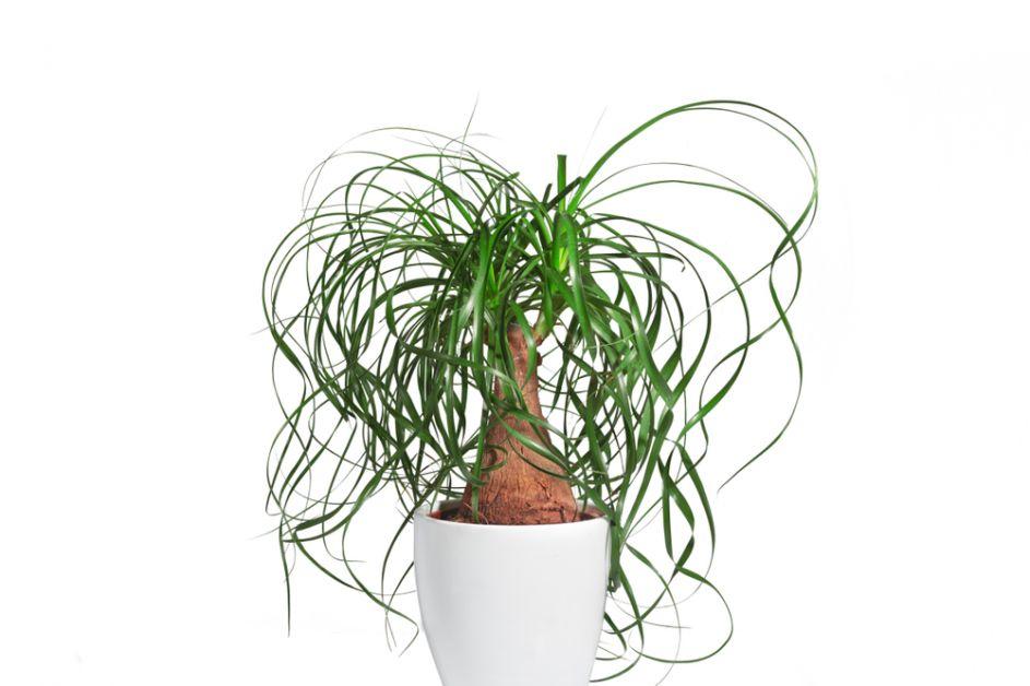 palmier plantes non-toxiques