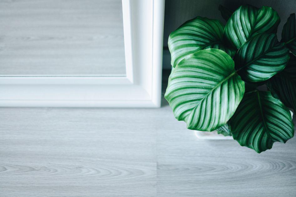 calathea plantes non-toxiques