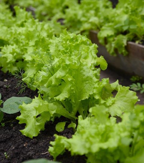 potager salades été