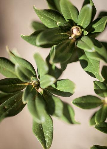 Rose des Alpes bio cultivée sur le Domaine Clarins.