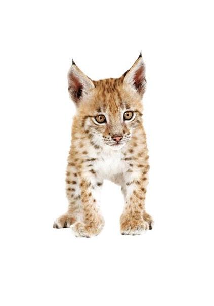 Muursticker welp lynx - 14,95 euro