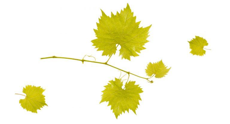 feuilles_caudalie