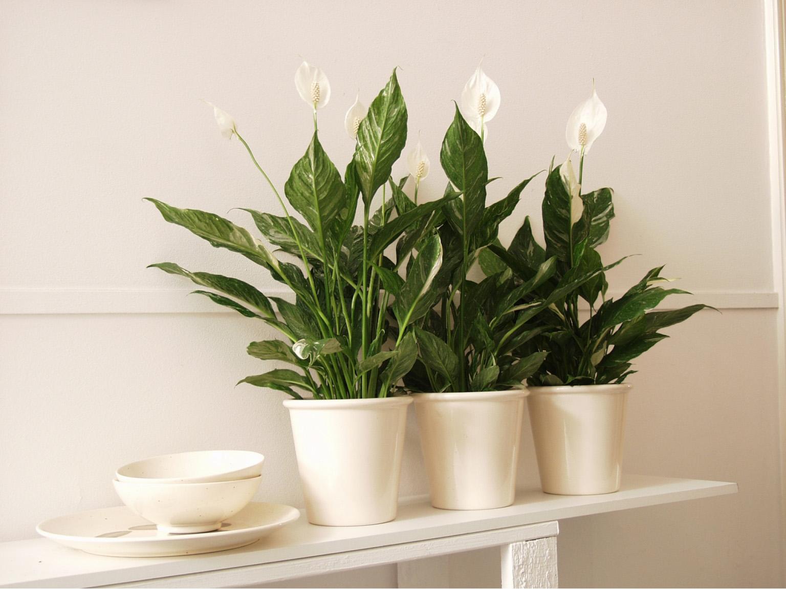 spathiphyllum-sweet-lauretta-potmaat-19-cm_l