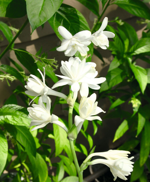 Tropical Tuberose