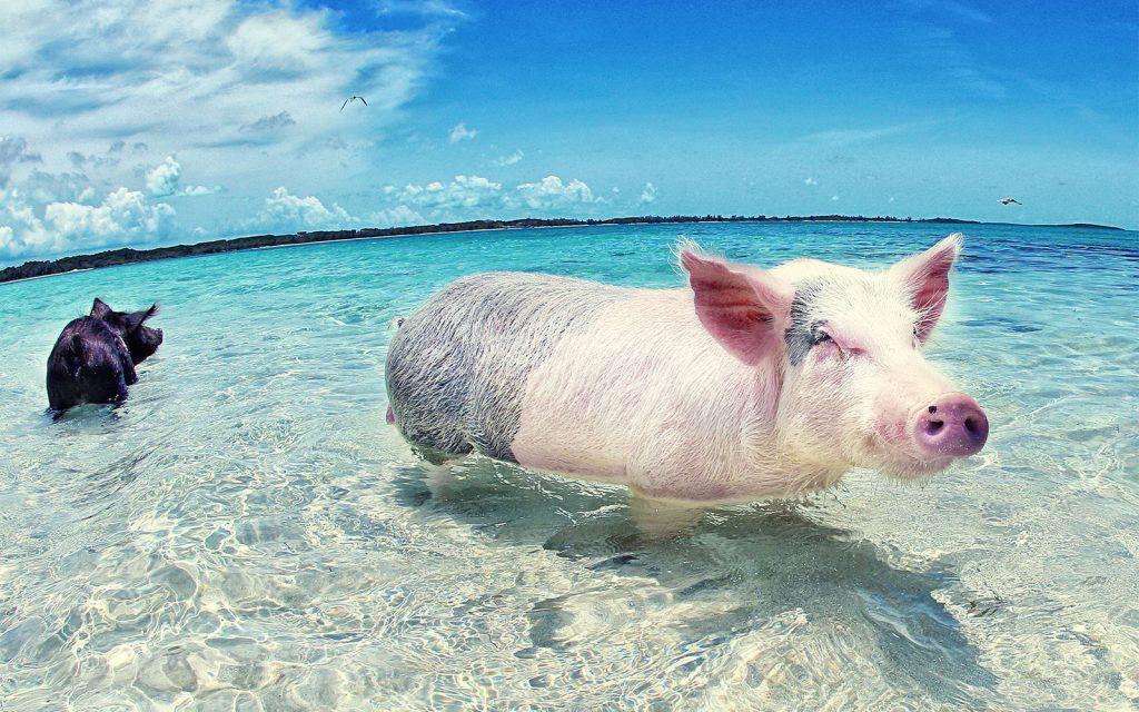 zwemmen met varkens 1