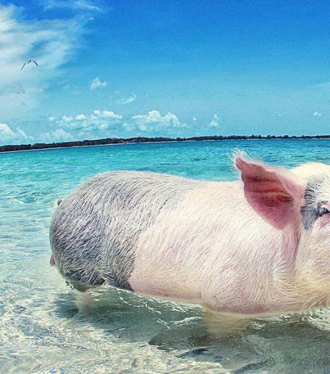 Vakantietrend: zwemmen met varkens