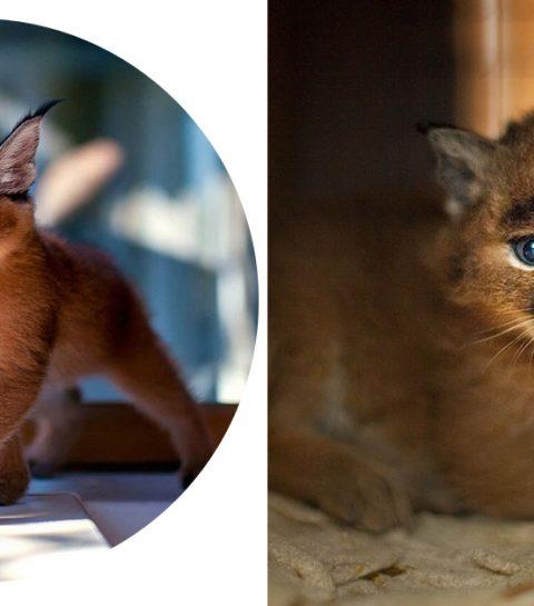 Laat alles vallen: dit is het schattigste kattenras ter wereld