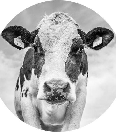 H&M wil kleding maken uit koeienmest