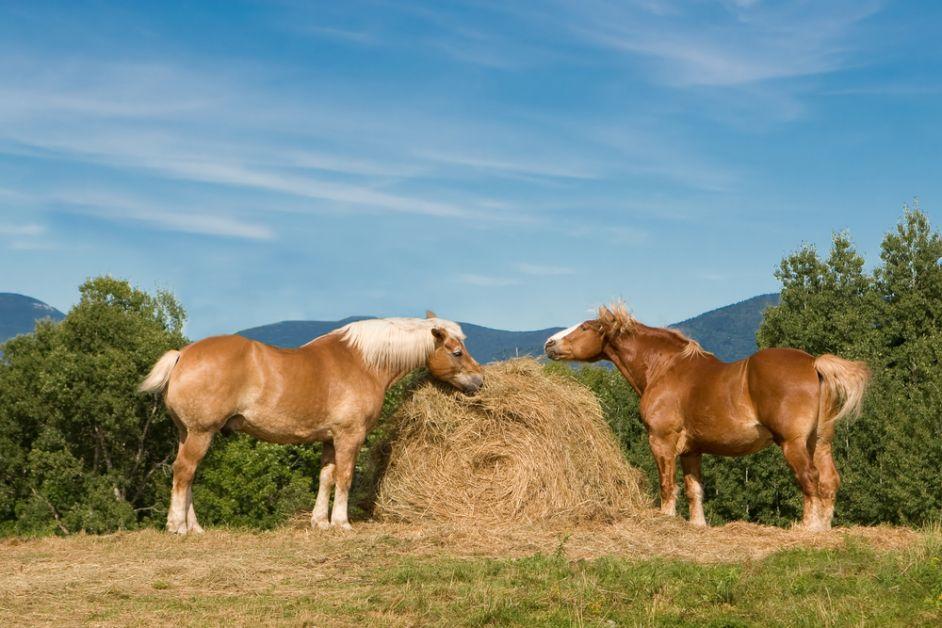 werelddierendag, belgisch paard