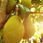 jackfruit, fruit, vegetarisch, vleesvervanger