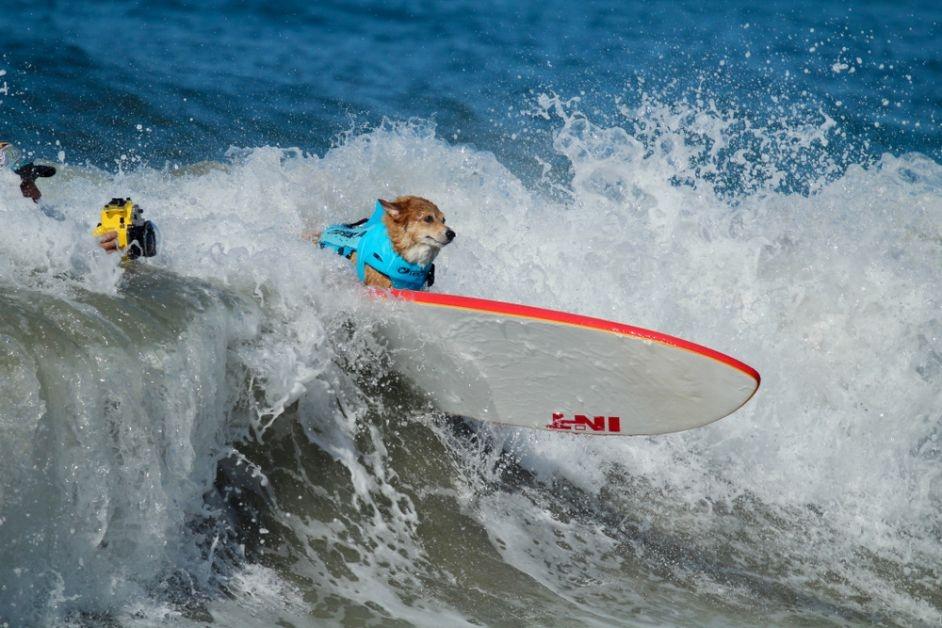 surfleraar_honden beroepen