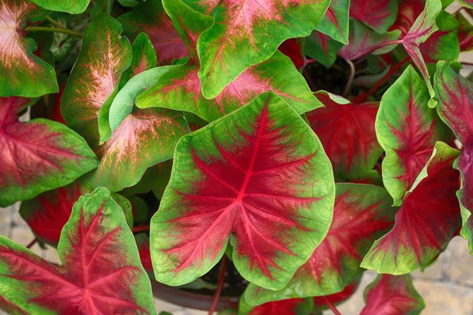 Red Green Caladium Lush Healthy Natural Planten roze
