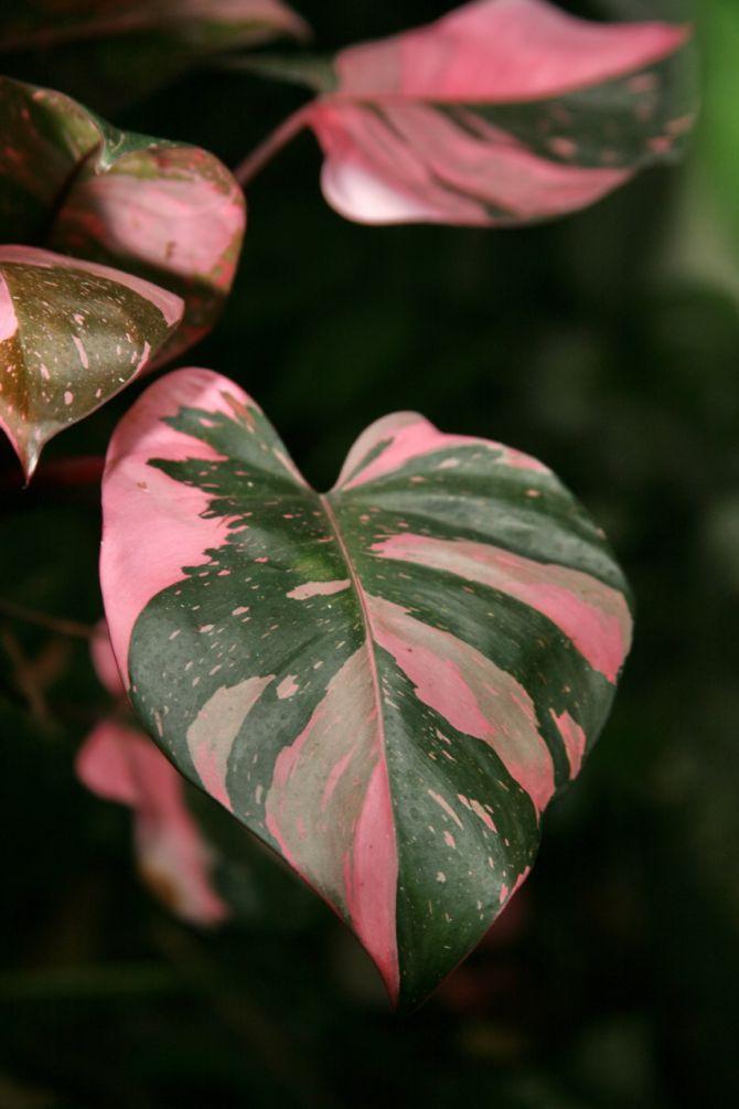 10 roze planten die jouw interieur opfleuren - 6