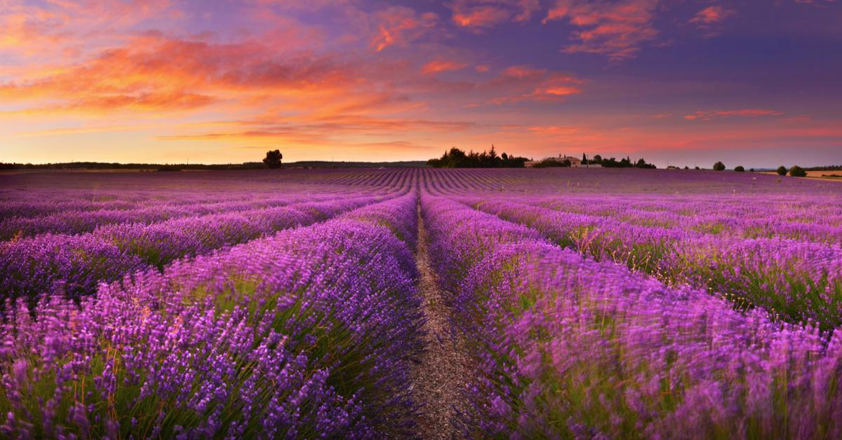 bloemenvelden lavendel Provence