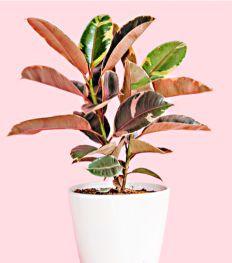 10 roze planten die jouw interieur opfleuren