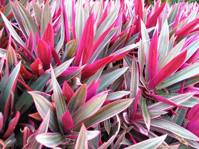 tradescantia spalacea roze plant
